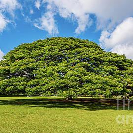 The Four Million Dollar Hitachi Monkeypod Tree by Phillip Espinasse