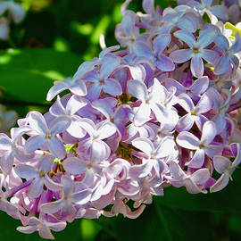 The Fragrance of Lilacs by Arlane Crump