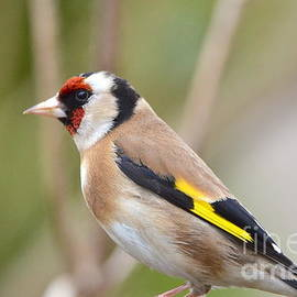 The Goldfinch by Carla Maloco