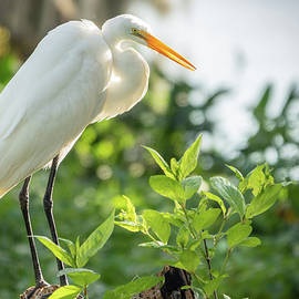 The Great Egret by Robert Carter
