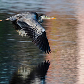 The Grey Heron in flight by Vishwanath Bhat