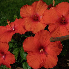 The Hibiscus Family by Linda Howes