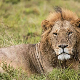 The King of Beasts by Lindley Johnson