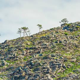 The last pine trees