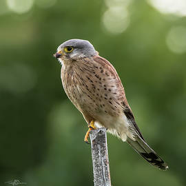 The male Kestrel hunting on top of a round pole by Torbjorn Swenelius
