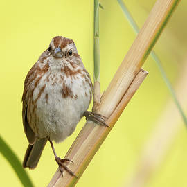 The Mighty Sparrow by Sue Cullumber