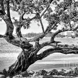 The Mother Bay Tree by Rene Triay Photography
