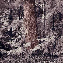 The old pine still so strong by Jouko Lehto