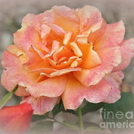 The Pink Rose of Late Summer by Dora Sofia Caputo