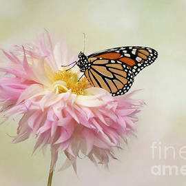 The Pose of the Monarch Butterfly by Linda D Lester