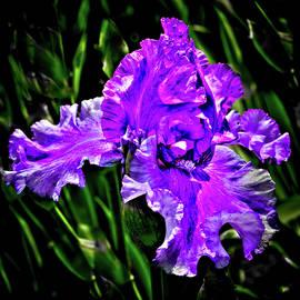 The Purple Iris by David Patterson