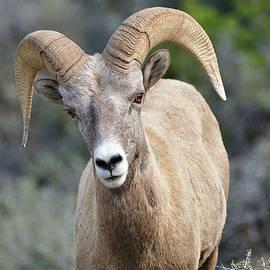 The Ram by Jeff Macklin