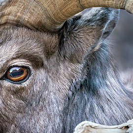 The Ram's Eye by Judi Dressler