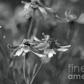 The Rum Punch Plant Coreopsis BW by Joy Watson