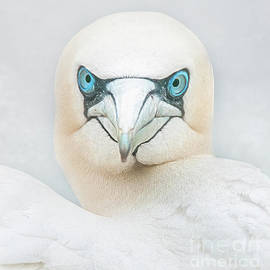 The sharp end of a gannet by Brian Tarr
