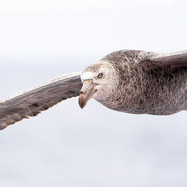 The steely stare of a Northern Giant Petrel by Sandra Nelson
