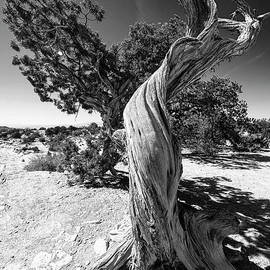 The Tree Canyonlands National Park Utah Grand View Trail BW by Wayne Moran