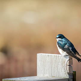 The Tree Swallows are Back in Town by Ricky L Jones