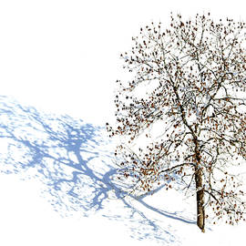 The Tree with Snow Blossom by Imi Koetz