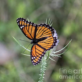 The Viceroy Kentucky State Butterfly by Barbara McMahon