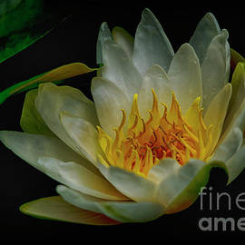 The Water Lily by Janice Pariza