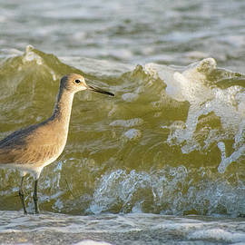 The Willet and the Wave by Mary Ann Artz