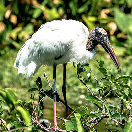 The wood stork by Garrick Besterwitch