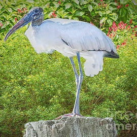 The Woodstorks Pose by Judy Kay