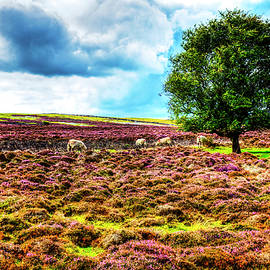 The Yorkshire Moors Sheep On The Purple Heather by Paul Thompson