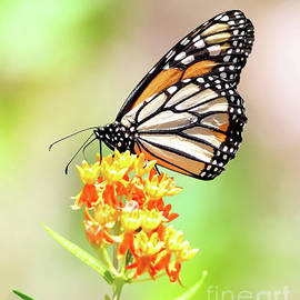 Thirsty Monarch by Tina LeCour