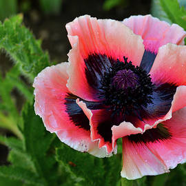 This Poppy Is Eye Popping  by Michael Morse