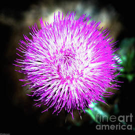 Thistle  by Veronica Batterson