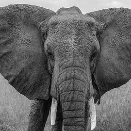 Those Ears by Eric Albright