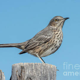 Thrasher on the Fence by Steven Natanson