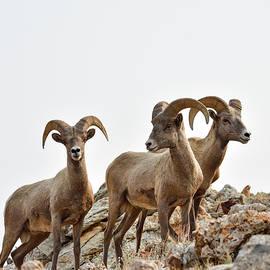 Three Bighorn Rams by Sheryl Macklin