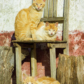 Three farm cats on a chair, Cercal, Portugal by Neale And Judith Clark