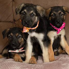 Three german shepherd mix puppies wearing bow ties by Ashley Swanson