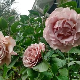 Three Coco Loco Roses by Scott Walker