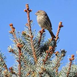 Three Little House Finches At the Top by Phyllis Kaltenbach