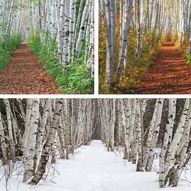 Three Season Birch Path Scene by Chris Whiton