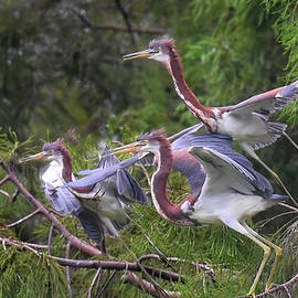 Three Tricolor Herons Takeoff by Jerry Griffin