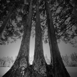 Three Twin Trees Black and White Nature by Marco Sales