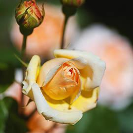 Three Yellow Rose Buds by Joy Watson