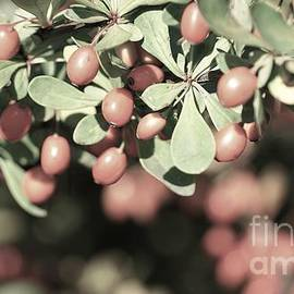 Thunberg's Barberry by Maria Faria Rodrigues
