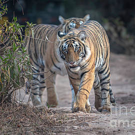 Tiger cubs on the move by Pravine Chester