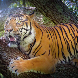 Tiger in a Tree by Mark Andrew Thomas