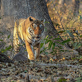 Tiger in the jungle by Pravine Chester