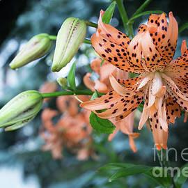 Tiger Lily II by Deborah Klubertanz