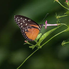 Tiger Longwing Butterfly by Marlin and Laura Hum