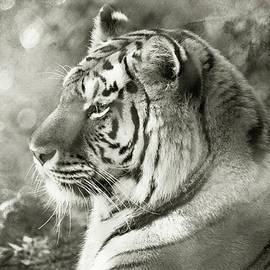 Tiger Mystery by Karol Livote